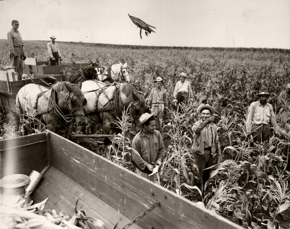 Five adult men seen walking in mature corn field, harvesting ears of sweet corn.  One ear is seen in the air being  tossed into wagon of harvested ears.  Two additional horse-drawn wagons hauling harvested ears of sweetcorn are seen in the background.