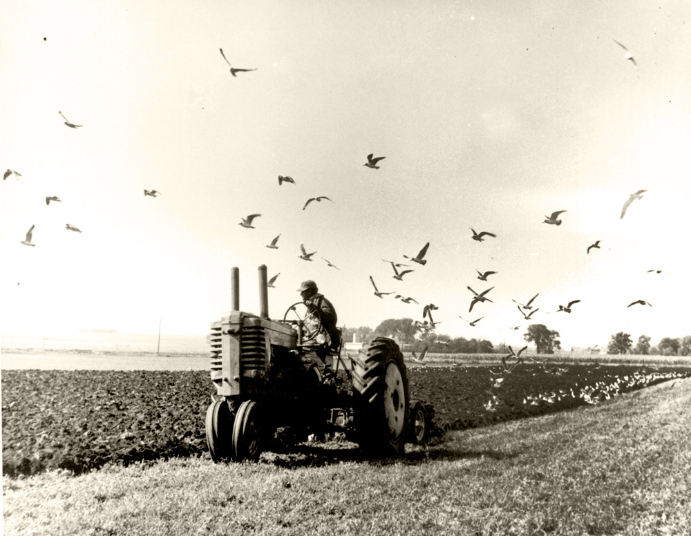 An adult man is seen driving a tractor, turned to look across the plowed field that he has just worked over.  Many seagulls are seen flying overhead and some are landing on the freshly turned soil.