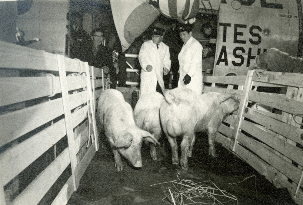 The image shows hogs from Iowa being taken off a plane in Yamanashi Prefecture in Japan.