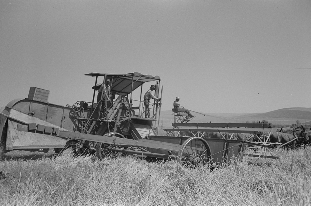 Harvesting wheat with a combine in Iowa.