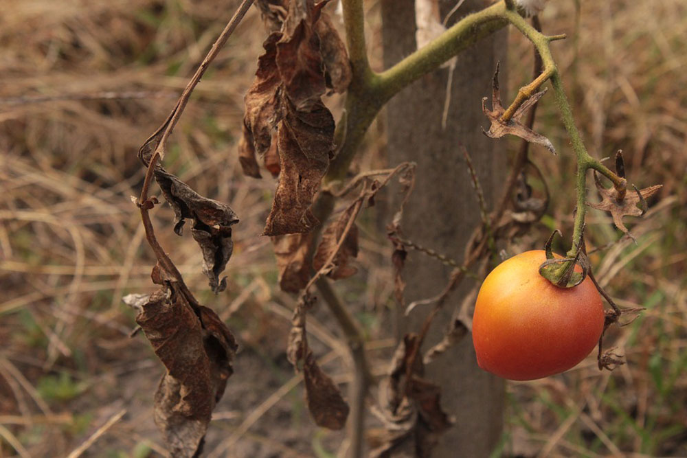 Failing Tomato Plant, August 18, 2018