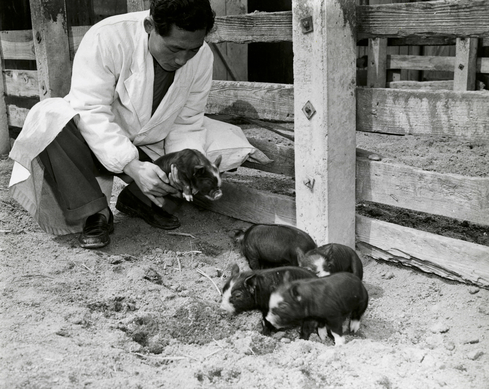 Berkshire Piglets To Korea 1952