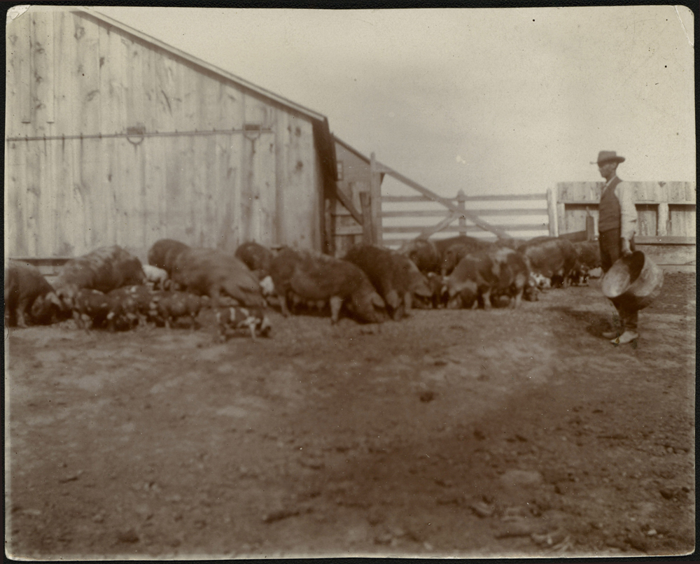 Adult man wearing bib overalls and holding an empty metal bushel basket seen standing in hog pen with about two dozen hogs likely feeding.