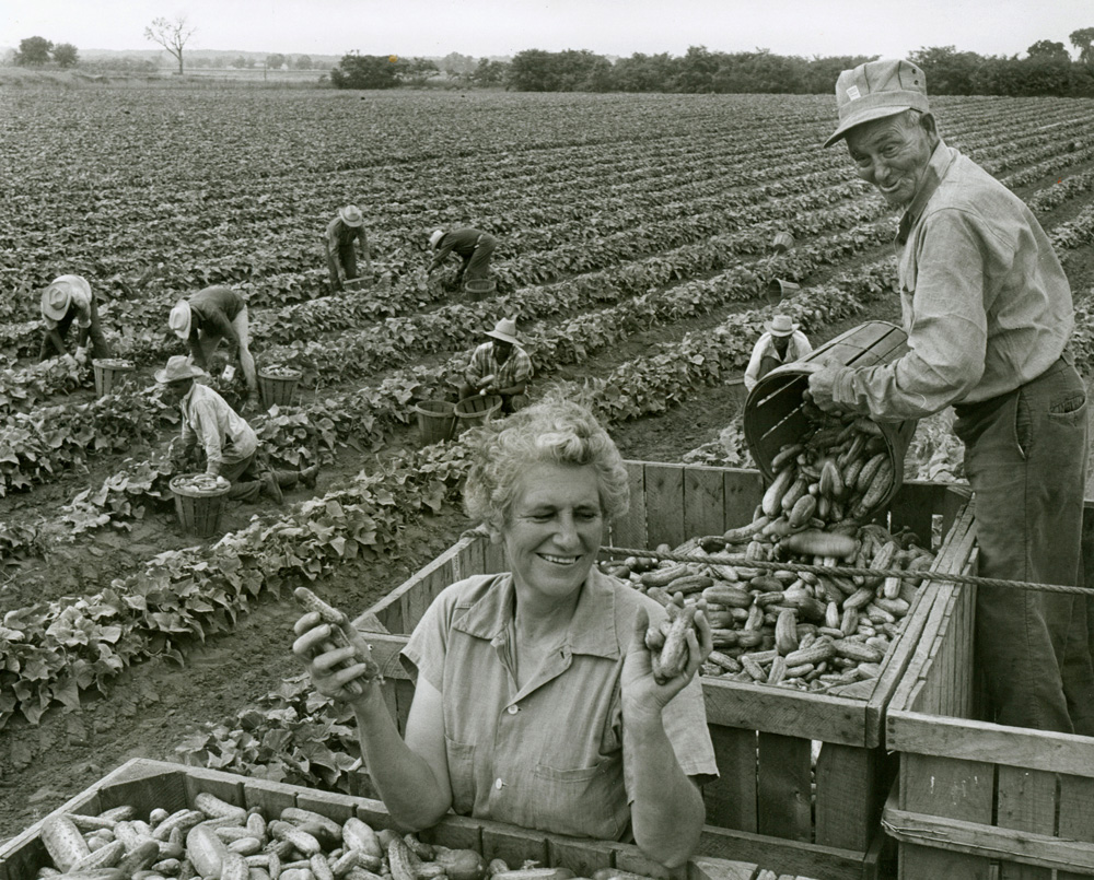 Woman with a huge smile seen in the foreground gazing at freshly harvested cucumbers.  Man next to her seen pouring a bucket of cucumbers into large crate.  Six workers seen harvesting in the background.