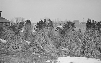 The photograph shows several stacks of sugarcane that are being grown in Emmet County, Iowa, in 1936.