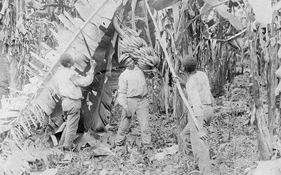 Image depicting Costa Rica farm workers cutting down large bunches of bananas.