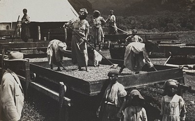 Drying Cocoa on the Island of Dominica in the West Indies, ca. 1906