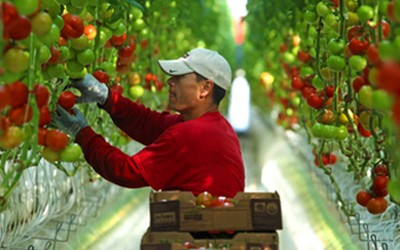 A Wholesum Harvest worker harvests tomatoes
