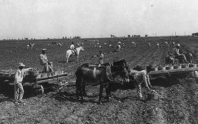 About a dozen workers scattered throughout plowed field.  Two horse-drawn, flat-rack wagons seen in foreground along with additional potato harvest workers.